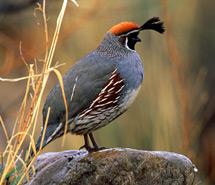 Grouse | Quail | Pheasant