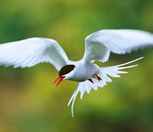 Gull | Tern | Albatross
