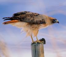 Hawk | Falcon