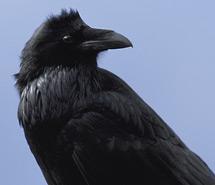 Raven | Magpie
