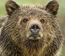 Brown Bear | Grizzly Bear