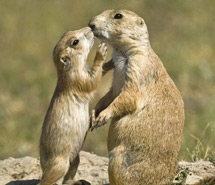Chipmunk | Prairie Dog