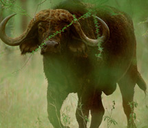 Rhino | Cape Buffalo