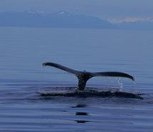 Whale | Orca