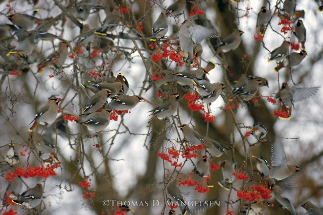 Wintering Waxwings | Legacy Reserve Collection