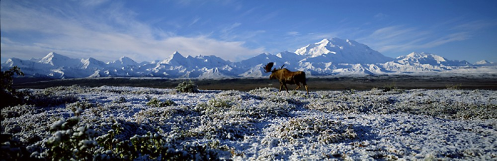 Snow Stepper - Moose and Mt. McKinley