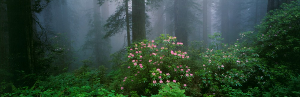 Serenity - Rhododendrons and Redwoods