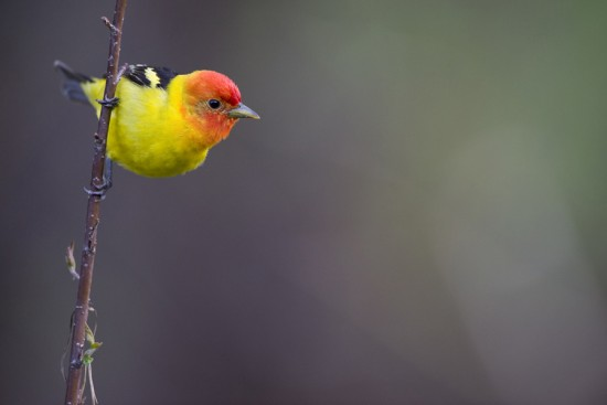 Summer's Delight - Western Tanager
