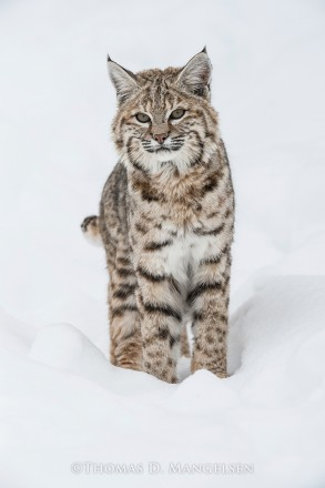 Winter Beauty - Bobcat