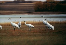 Five Whoopers