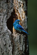 Mountain Bluebird Nesthole