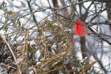 Color of Winter - Cardinal