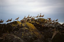 The Gathering - Whimbrels