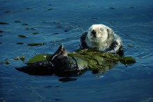 California Sea Otter in Kelp