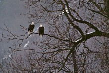 After the Rain - Bald Eagles