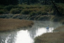 Misty Morning Creek - Swan