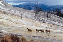 Elk at Mammoth Springs
