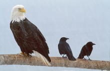 Common Ground - Bald Eagle and Crows