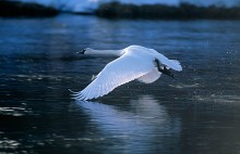 Wings of Light - Trumpeter Swan