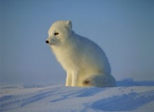 First Rays - Arctic Fox