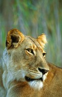 Sunset on the Zambezi - Lioness