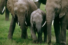 Elephants and Baby