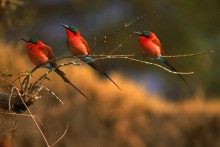 The Perch - Carmine Bee-Eaters