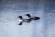 Oxbow Bend Loons