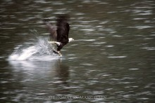 Eagle Catching Salmon