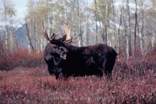 Indian Summer - Moose