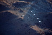 Migrating Whoopers