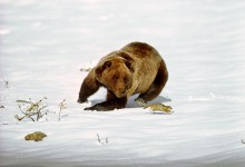 In Pursuit - Grizzly Bear