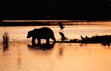 Evening Reflections - Brown Bear