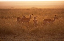 Daybreak on the Grasslands - Impalas