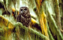 Silent Watch - Northern Spotted Owl