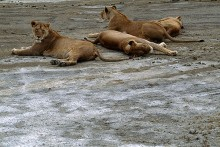 The Dry Season - Lionesses