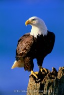 The Lookout - Bald Eagle