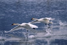 Take Off - Trumpeter Swans