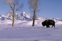 Winter Pastures - Bison