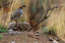 Song of the Sonoran - Gambel's Quail