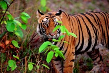 The Hunted - Bengal Tiger