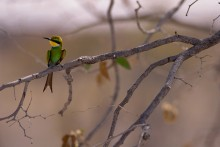 Morning Perch - Swallow-Tailed Bee-Eater