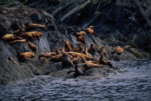 Keepers of the Bay - Steller's Sea Lions