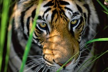 Tiger Eyes - Bengal Tiger