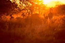 Daybreak on the Mara - Impalas