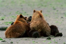 Belly Up - Brown Bears
