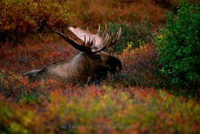 Colors of the Rut - Alaskan Moose