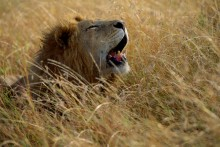 Laying Low - African Lion