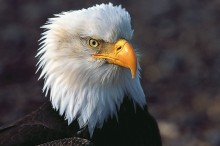 Lord of the Skies - Bald Eagle