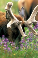 Velvet and Lupine - Elk